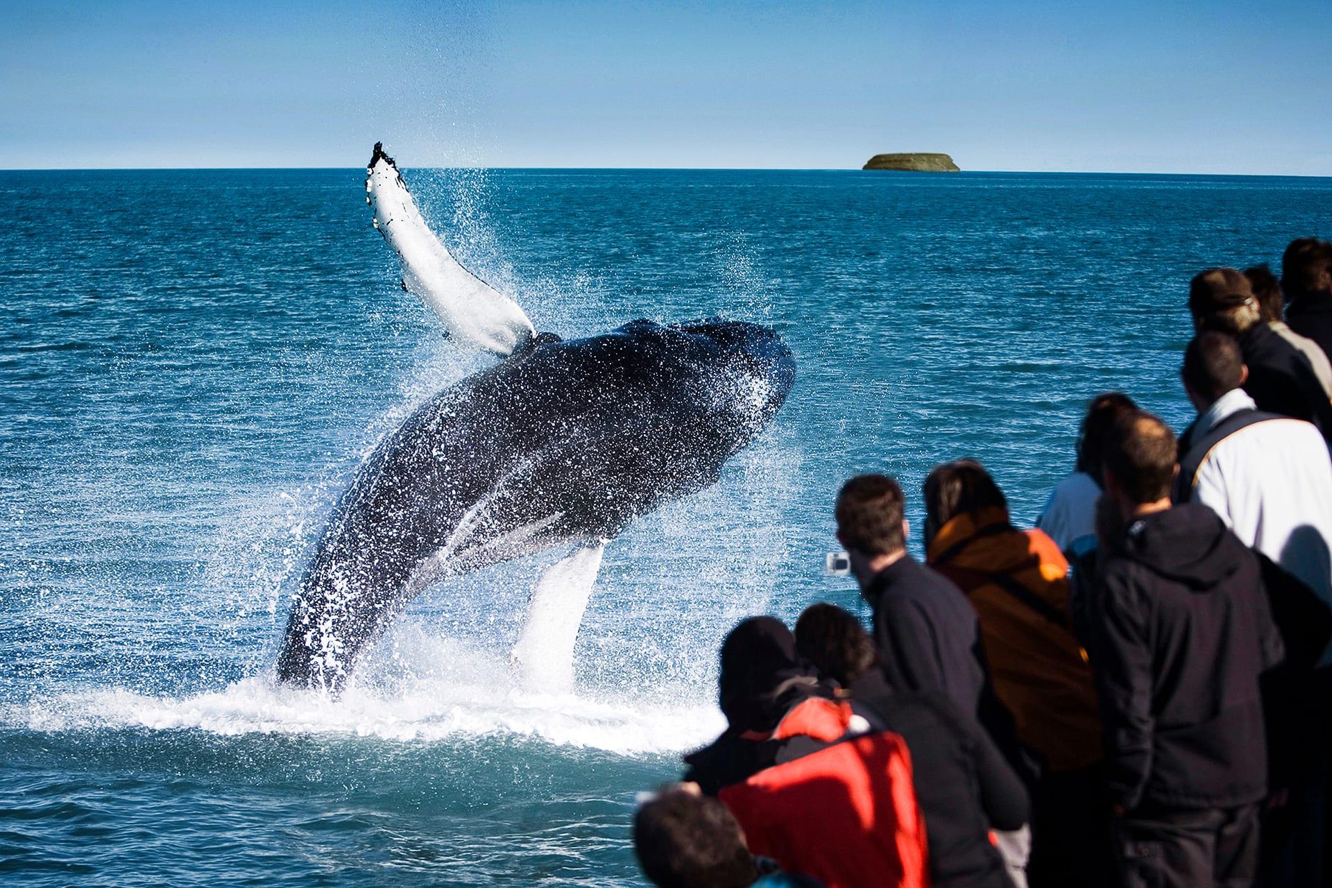 Ein springender Buckelwal bei einer Walbeobachtung mit North Sailing.